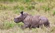 Rhinoceros baby, Lake Nakuru National Park, Kenya