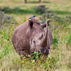 Rhinoceros, Lake Nakuru National Park, Kenya