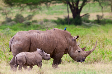 Rhinoceros with her baby, Lake Nakuru, Kenya