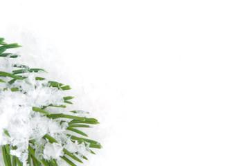 Verschneiter Tannenzweig