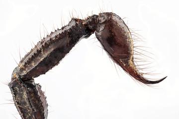sting of palamnaeus fulvipes
