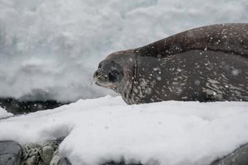 Antarctic Weddell seal close-up