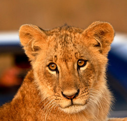 Lion cub with blue car in background