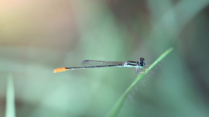 Close up of damselfly with green eyes, blue body and orange tail