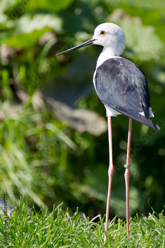 Common Stilt (Himantopus himantopus)