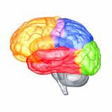 Fototapety Menschliches Gehirn - anatomisches Modell