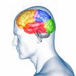 Menschliches Gehirn - anatomisches Modell