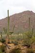 Saguaro National Park, USA..