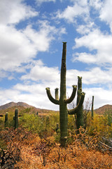 Saguaro National Park, USA..