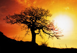 Fototapety Alone tree with sun and color red orange yellow sky