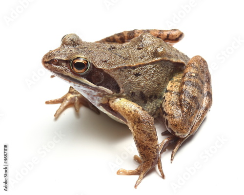 common frog (Rana temporaria) over white