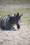 Fototapeta Sawanna - zebra © tychyl90