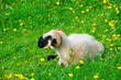 Welsh Blacknose- Sheep