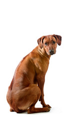 Beautiful dog rhodesian ridgeback sitting isolalted