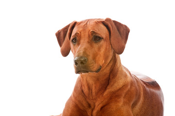 Beautiful dog rhodesian ridgeback isolalted
