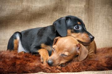Miniature Pinscher puppies, 2 months old
