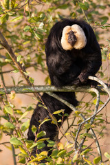 White-faced Saki (Pithecia pithecia) or also known as Golden-fac