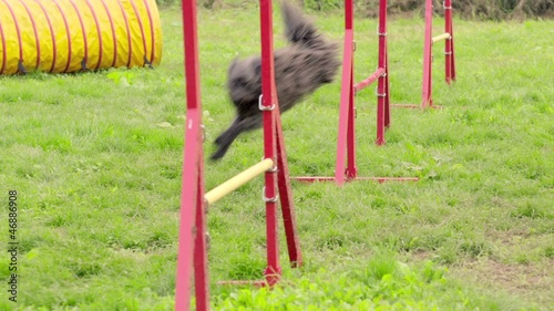 Pets running, agility race with dog jumping over hurdles