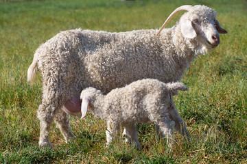 An Angora goat nursing a kid