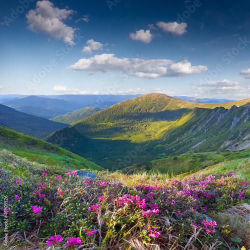 Magiczne różowe kwiaty rododendronów na góry latem
