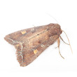 Bright-Line Brown-Eye Moth (Night Fly) Isolated on White