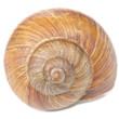 Leinwandbild Motiv Roman Snail Shell Isolated on White Background