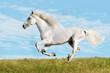 Leinwandbild Motiv White horse runs gallop on the meadow