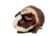 Teddy Guinea pig isolated on the white background