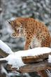Lynx winter