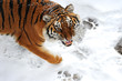 Tiger winter