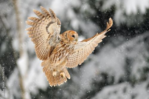 Staande foto Uil Landing tawny owl