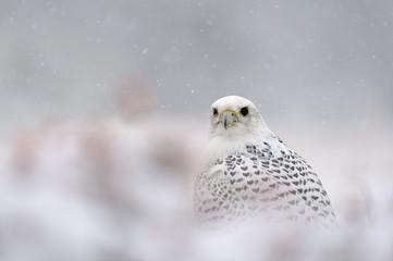 Gyrfalcon on snowy winter