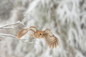 Flying tawny owl