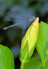 dragonfly rest on hibiscus flower bud