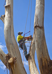 Arborist pruning a large tree