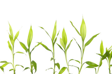 Set of Green bamboo sprout on white background