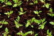 Green seedling