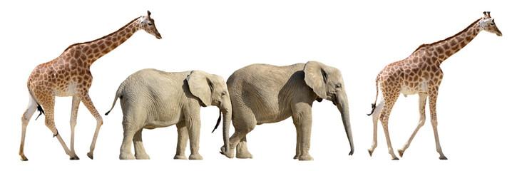 Isolated giraffes and elephants walking