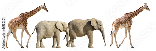 Isolated giraffes and elephants walking