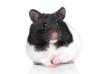 Hamster, close-up portrait