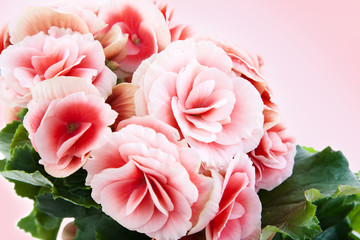 Beautiful begonia flowers isolated on pink background