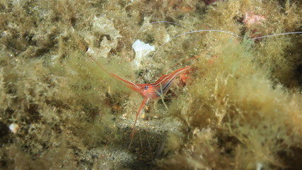 Prawn on seaweed, some plankton also visible.