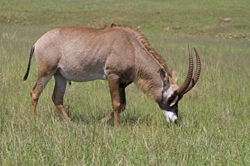 a Roan antelope; Hippotragus equinus
