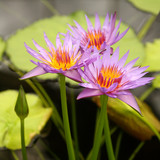 purlpe water lilies