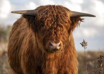 close up of a Scottisch Highlander