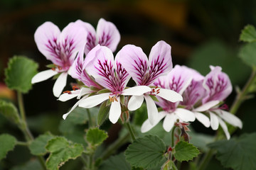 detail of blooming pelargonium flower heads
