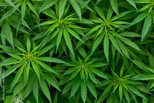 Leinwanddruck Bild Marijuana