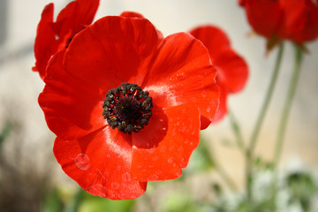 red poppy flower head