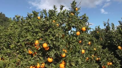 orangenbaum mit reifen früchten