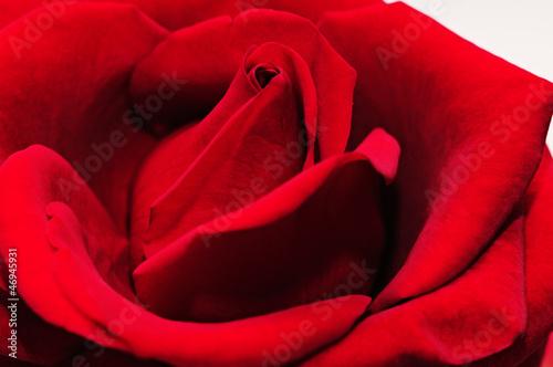 Fototapeta rose - piękny - Kwiat